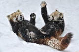 Zhivotnye-pandy-igra-sneg-zabavnye-444218