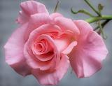 Fotos-de-rosas-de-colores-