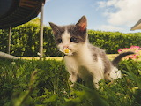 Kitten with a daisy