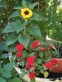 Sonnenblume und Lieschen