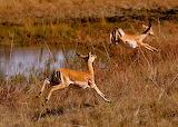 Bush meat animals Poaching dangerous endangered species poaching