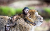 Monkey mom with her cub
