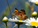 Pearl Crescent Butterfly in Wild Daisies Michigan USA