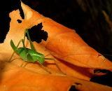 #Grasshopper on Autumn Leaf
