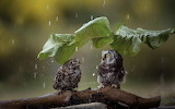 Owls in the rain
