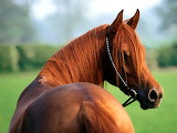 Brown-horse-picture