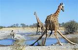 Animal Giraffe Drinking