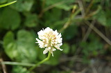 Fleur de Trèfle /Clover Flower