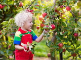 Child collects apples