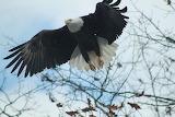 Saxonburg Eagle by Stephanie Renwick