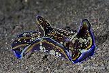 """Science tumblr anudibranchaday """"Philinoopsis speciosa"""" Indo-paci"""