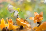 White-eye bird