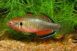 Freshwater aquarium fish 2