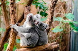 Koala . la familia
