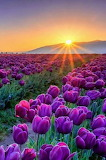 Sun on field of tulips