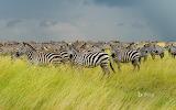 Zebras in Srengeti National Park