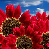 Pure Red Sunflowers