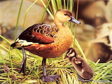 Duck-animals-baby