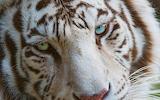 White-tiger-eyes