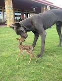 Dog & fawn