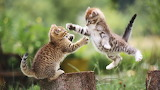 Cats animals jumping outdoors kittens