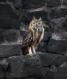 Indian Owl