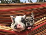Pig & Dog Raised Together, inseparable