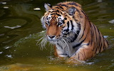 Tiger-animals-water-nature
