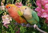 Necklace Parrot (Psittacula sp.)