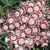 ^ Dwarf Mountain Laurel