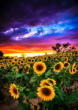 #Sunflower Field at Sunset