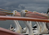 Eyes and Beaks - Pelicans