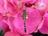 Flowers - Flower and Dragonfly