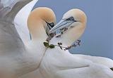 gannets in love, photo Steve Race