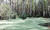 LA Cypress Swamp 02