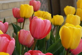 ^ Spring pink and yellow tulips