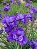 ^ Siberian iris 'Blueberry Fair'