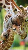 #African Giraffes