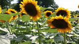 Sunflowers in Johnston County, NC