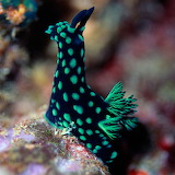 "Animals tumblr tangledwing ""Majestic nudibranch"""