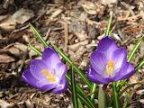 Flowers - Crocus