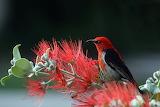 Scarlet-honeyeater