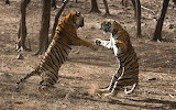 2 tigers in fight
