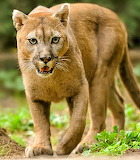 Puma02