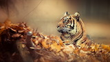 Tiger-autumn-leaves-animal