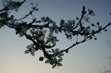 fleurs de prunier / plumtree flowers