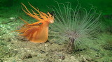 "Science tumblr anudibranchaday ""Dendronotus iris"""