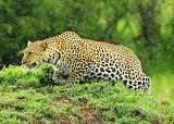 Leopard Stalking in the Rain