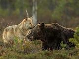 Rare Wolf & Bear Friendship