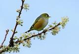 Waxeye on Plum Blossom